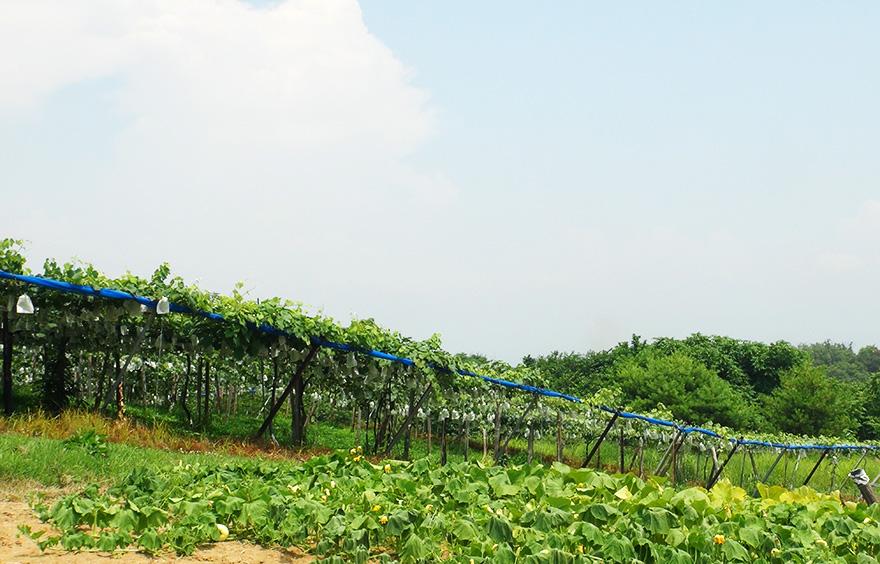 会津美里町新鶴地区「新鶴のブドウ畑」